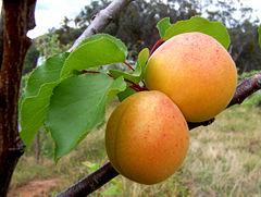 khasiat aprikot